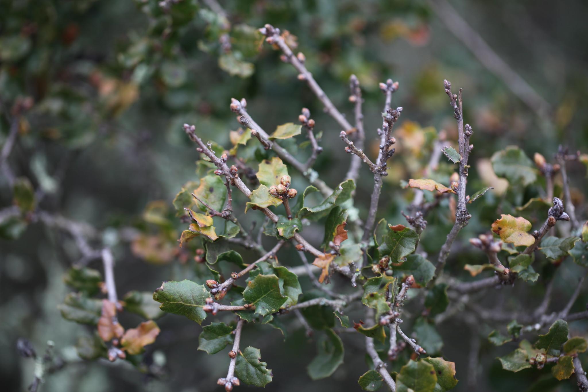 Image of Quercus dumosa.