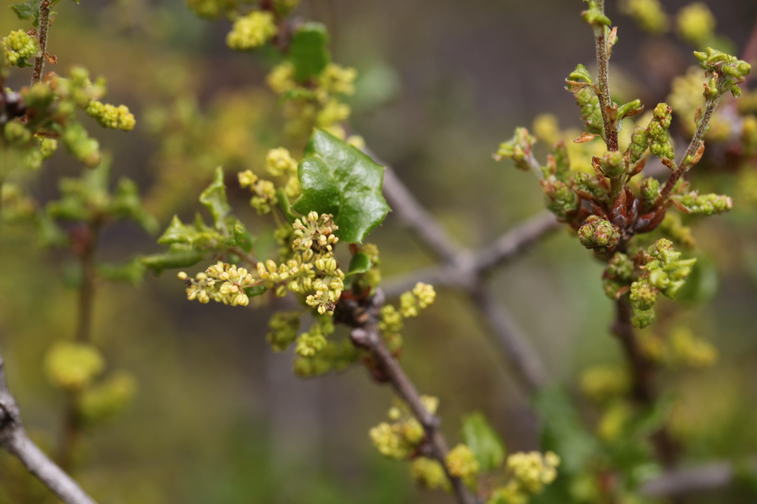 Quercus dumosa in flower. Photo by Caroline Iacuaniello