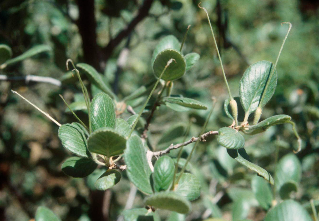 The Catalina Island mountain mahogany (Cercocarpus traskiae) is considered to be one of the rarest shrubs in the continental United States. Photo credit: Michael Wall.