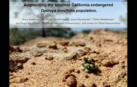 Screenshot from Augmenting the smallest California endangered Dudleya brevifolia population video