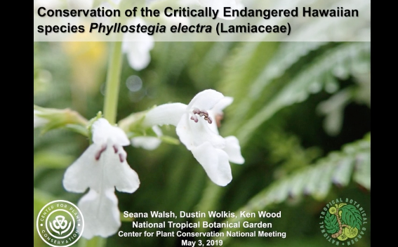 Screenshot of Conservation of the Critically Endangered Hawaiian species Phyllostegia electra (Lamiaceae) video