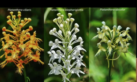 Screenshot from In vitro, symbiotic germination of Platanthera species for conservation efforts video