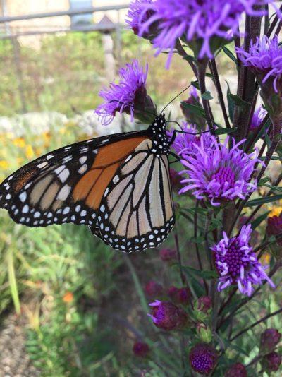 monarch-on-blazing-star
