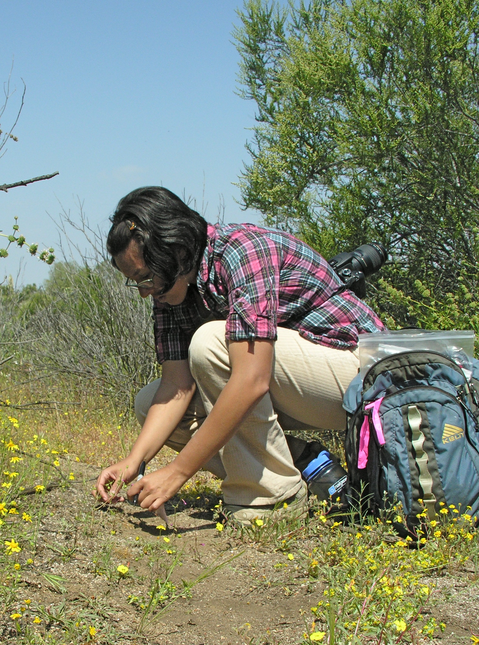 Naomi collecting Mimulus diffusus during her dissertation field work.