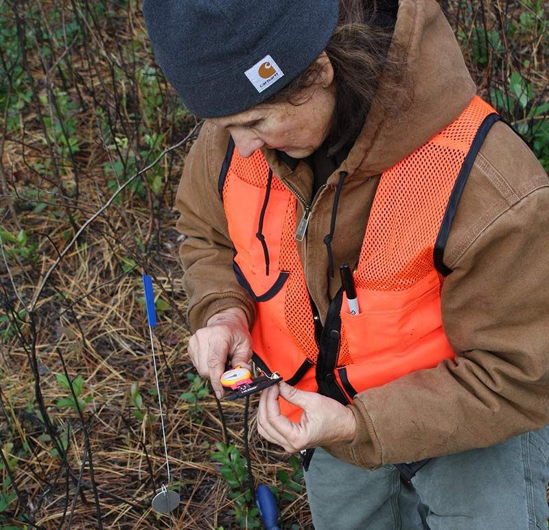 Janet Gray (DoD) measures Lilium pyrophilum bulbs before reintroduction.
