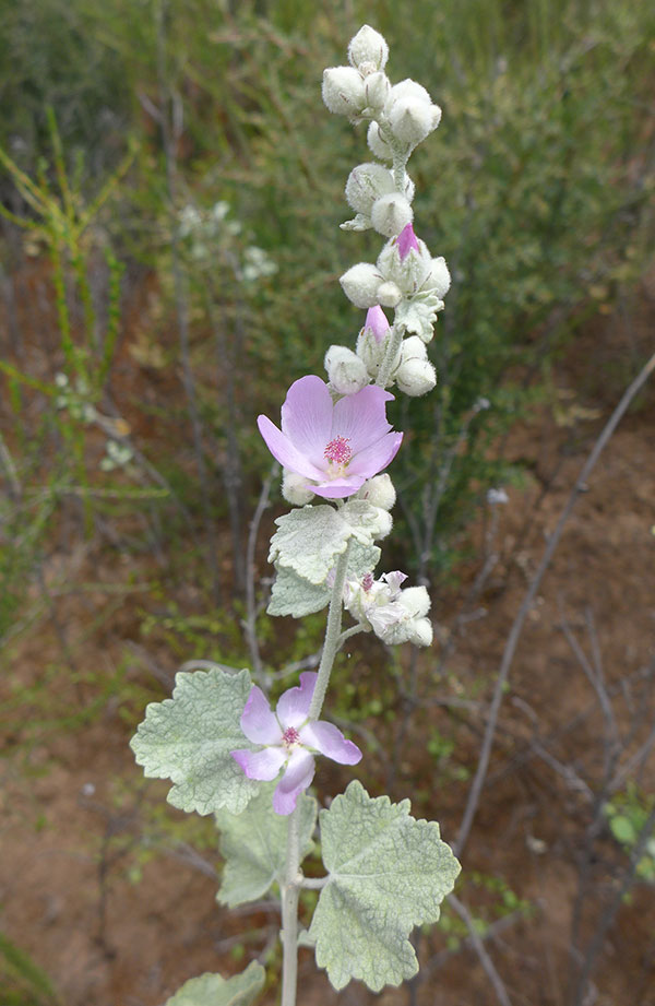 Heller's bush mallow with identifying characteristics