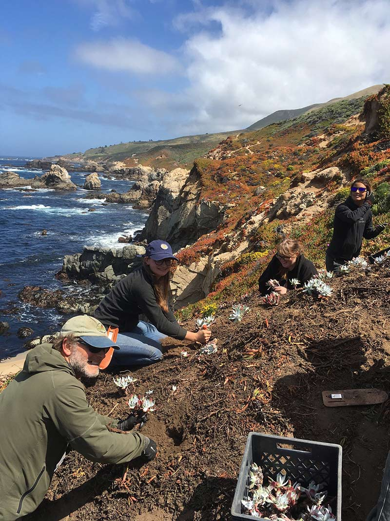 Brett Hall (left) leads students Breanna Rodgers, Lauren Tomlinson, and Samantha Spurlin in replanting illegally poached dudleyas (Dudleya caespitosa) back to their native site along the northern Big Sur coast. Photo credit: Lucy Ferneyhough, courtesy of University of California Santa Cruz Arboretum.