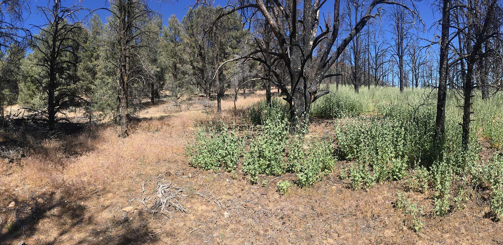 Area where Malacothamnus germinated after fire