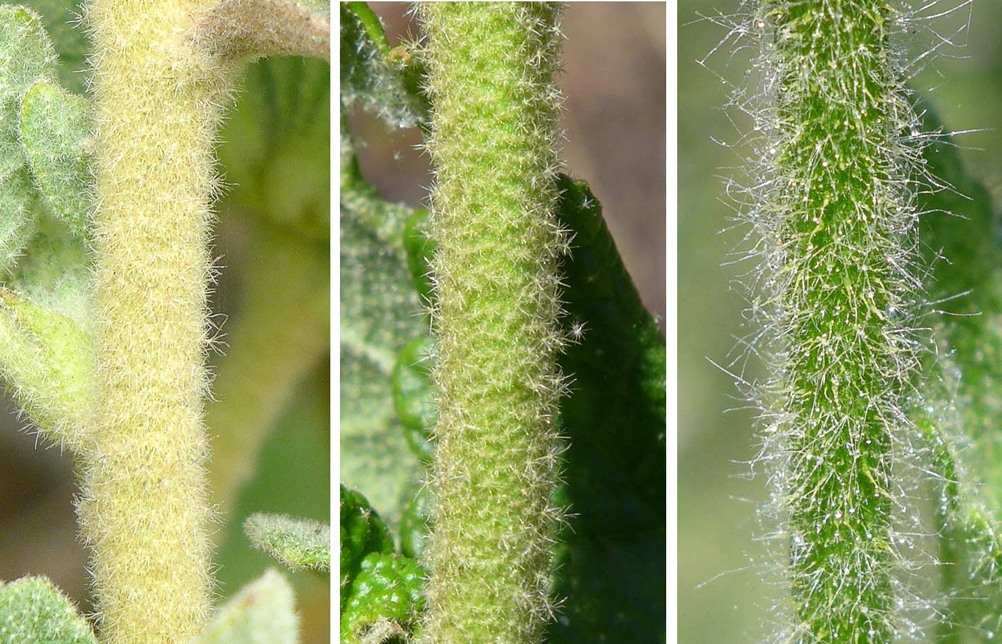 Trichome types in three mallow species