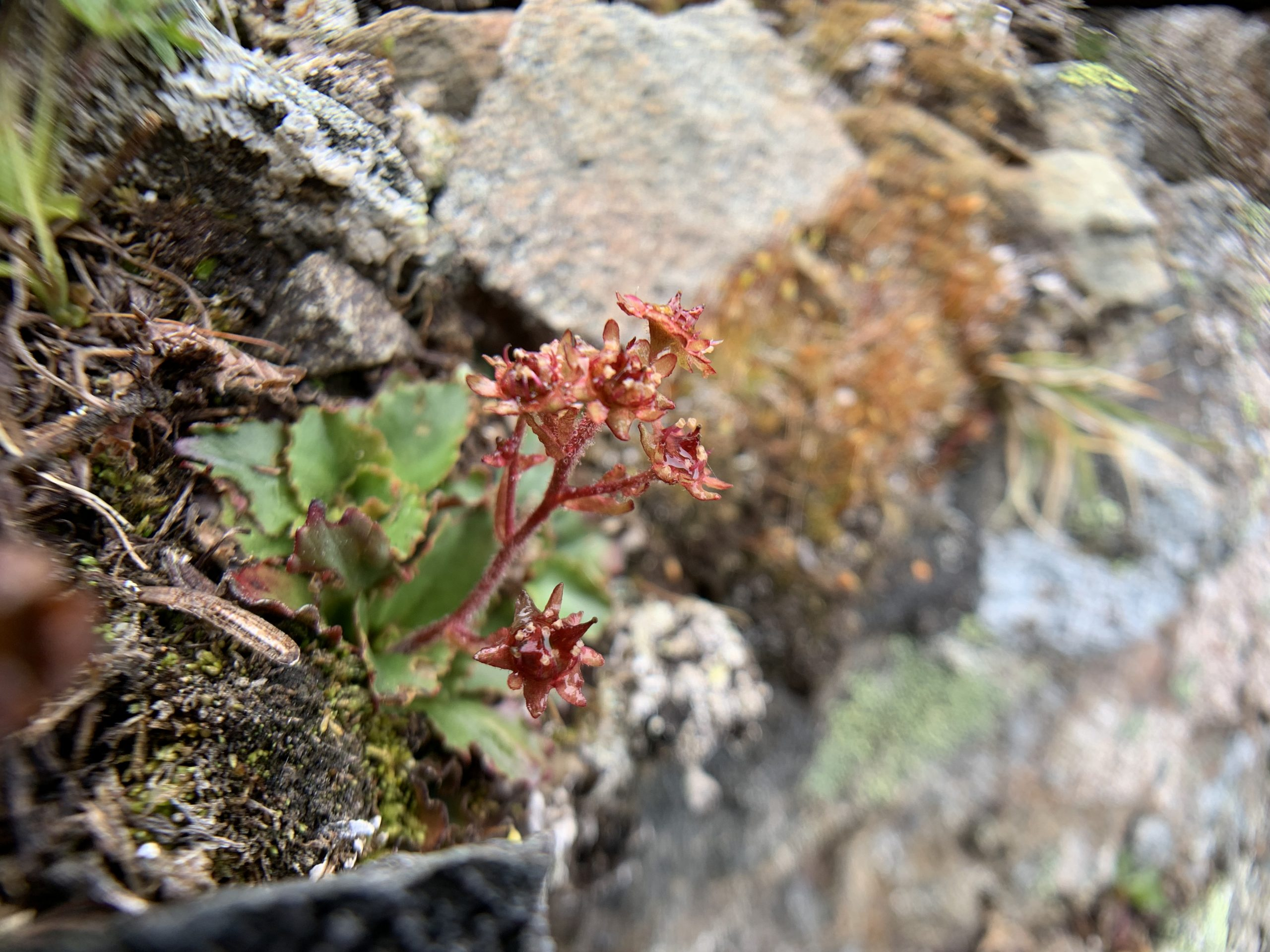 Tisch's saxifrage (Micranthes tischii) is an endemic plant found in the Olympic Mountains and one of Wendy's favorite plants because it claims her favorite habitat – alpine – as home. Rare Care is monitoring the species with interns as part of their National Park Service project.