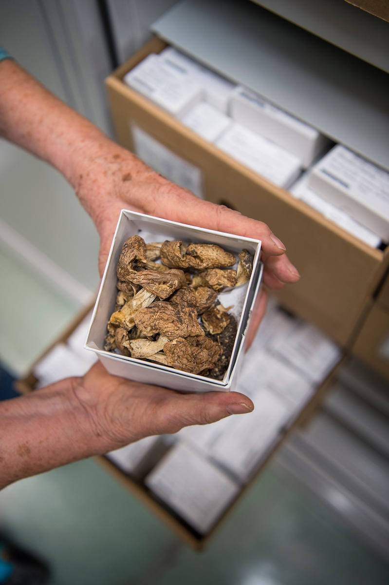Many years ago, fungal specimens were pressed and kept as flat vouchers similar to plants. Now the best way to preserve them is to keep dried specimens in boxes.