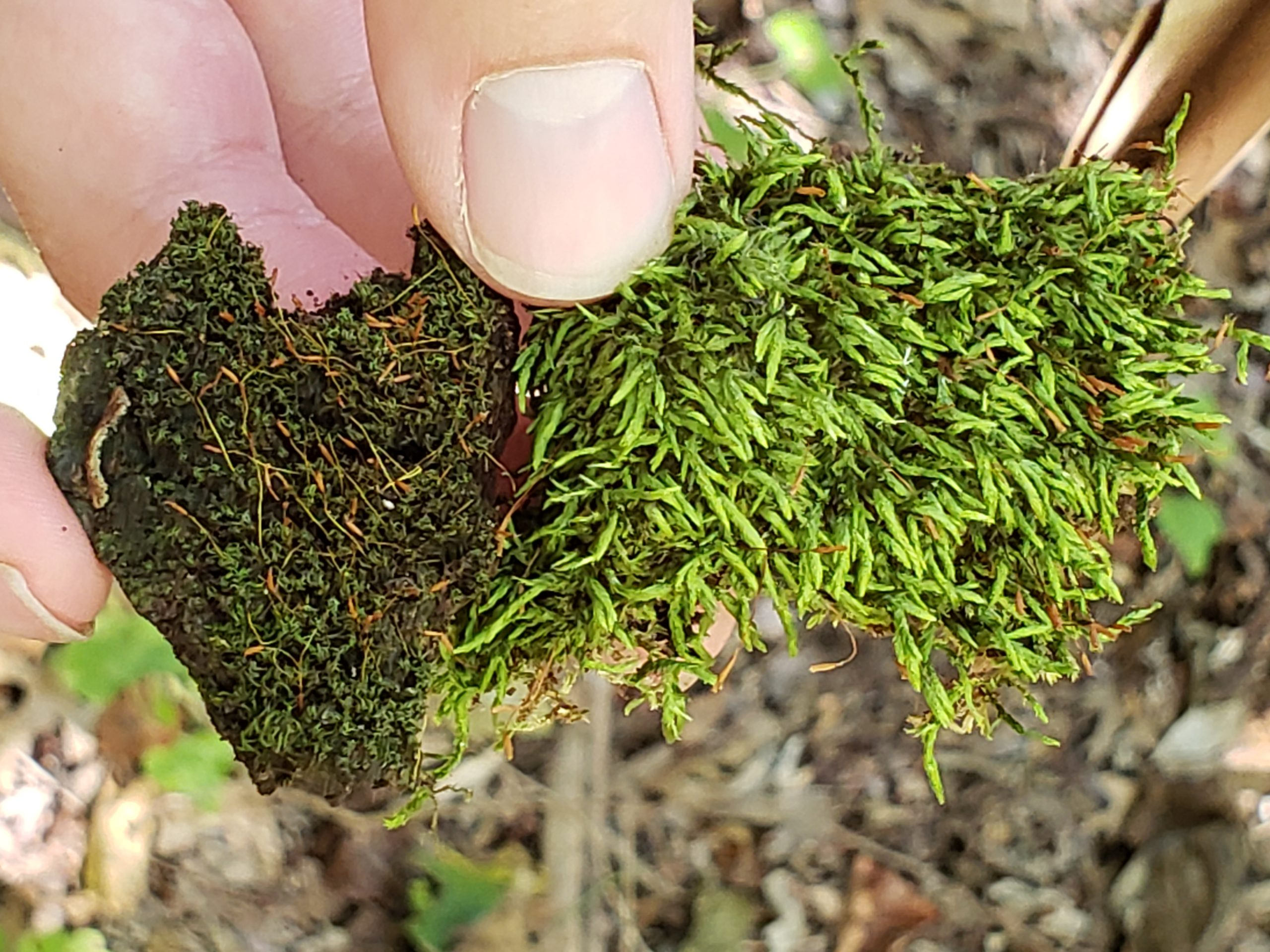 BRIT continues to add to its bryophyte collection, though nearly a quarter of the specimens were collected by Eula Whitehouse last century.