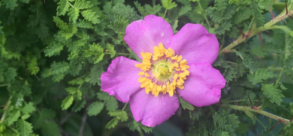 Small-leaved rose is officially recognized as Rosa minutifolia, and calling it otherwise in your database could lead to confusion when sharing the data, even if would smell the same.