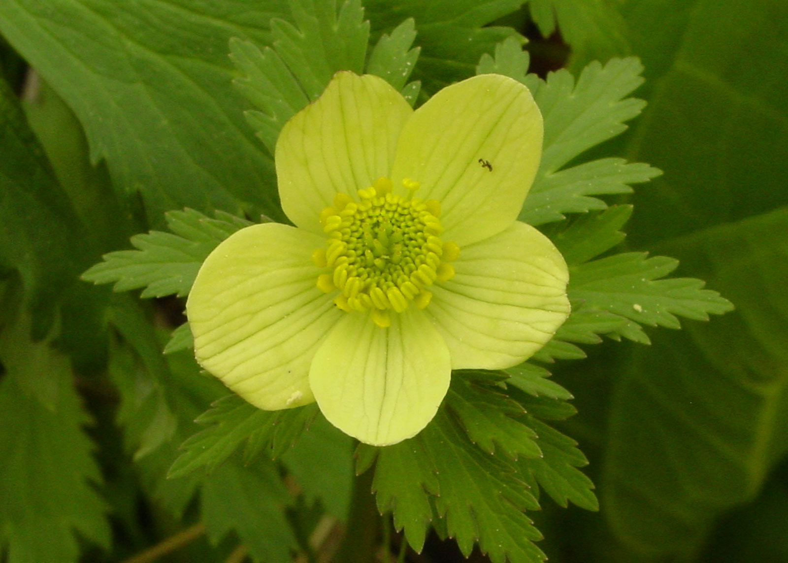 Photo of American globeflower (Trollius laxus ssp. laxus)