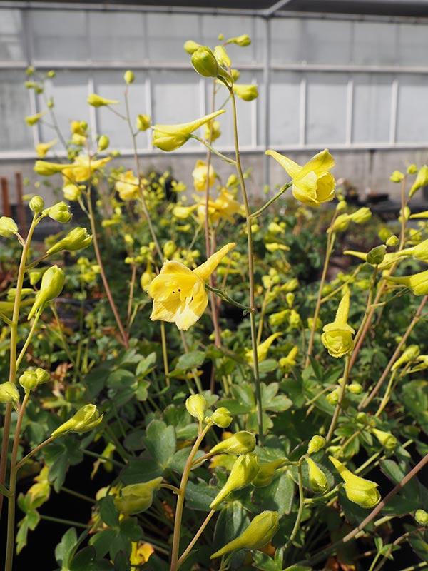 Delphinium luteum flowering in the UCBG Nursery.