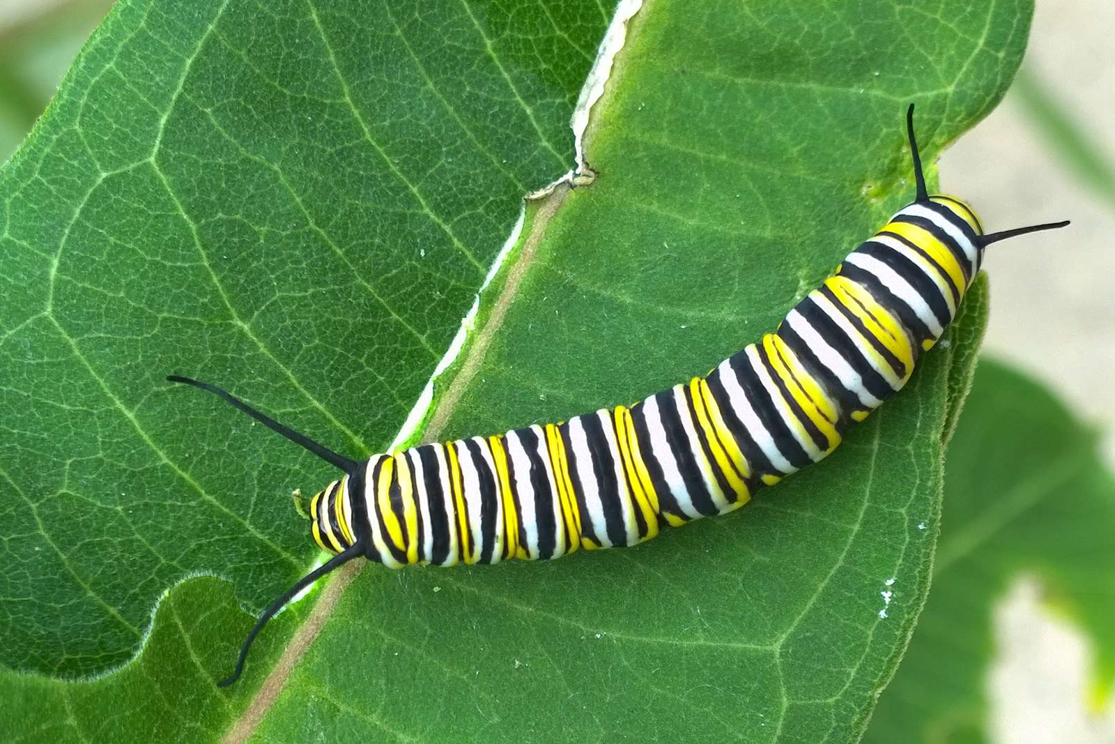 Monarch butterfly larvae
