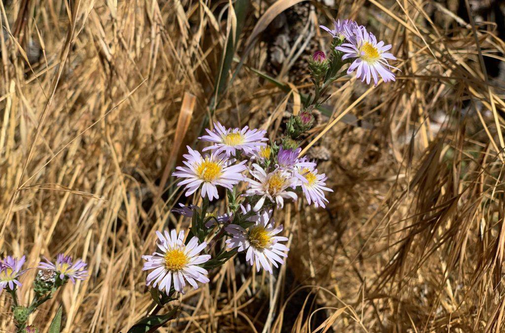 San Bernardino aster (Symphyotrichum defoliatum), a rare California species.