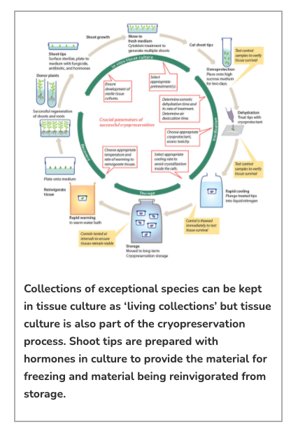 Collections of exceptional species can be kept in tissue culture as 'living collections' but tissue culture is also part of the cryopreservation process. Shoot tips are prepared with hormones in culture to provide the material for freezing and material being reinvigorated from storage.