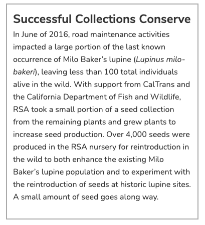 Successful Collections Conserve In June of 2016, road maintenance activities impacted a large portion of the last known occurrence of Milo Baker's lupine (Lupinus milo-bakeri), leaving less than 100 total individuals alive in the wild. With support from CalTrans and the California Department of Fish and Wildlife, RSA took a small portion of a seed collection from the remaining plants and grew plants to increase seed production. Over 4,000 seeds were produced in the RSA nursery for reintroduction in the wild to both enhance the existing Milo Baker's lupine population and to experiment with the reintroduction of seeds at historic lupine sites. A small amount of seed goes along way.