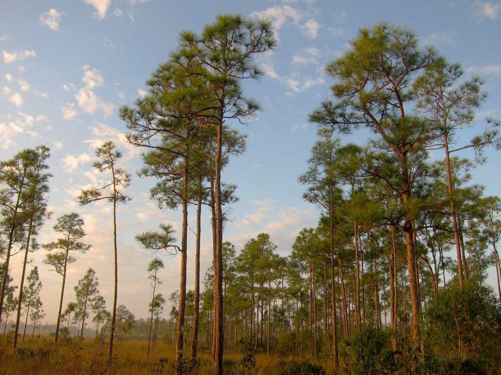 South Florida rocklands on Everglades National Park Long Pine Key Nature Trail.