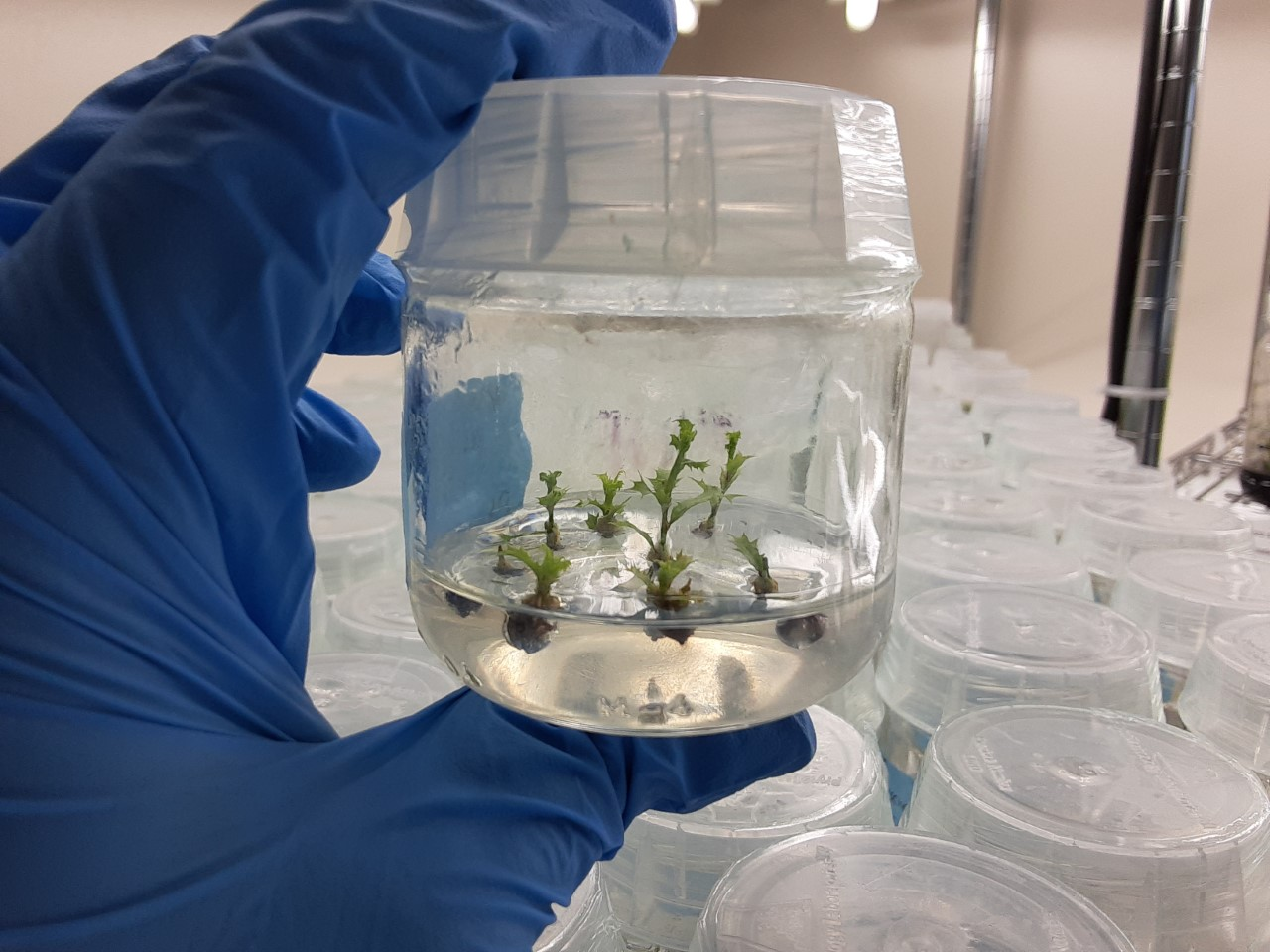 Nuttall's scrub oak (Quercus dumosa) is a threatened oak species - and oaks cannot be conserved through traditional seed banking methods. Tissue culture and cryopreservation will be key to their conservation.