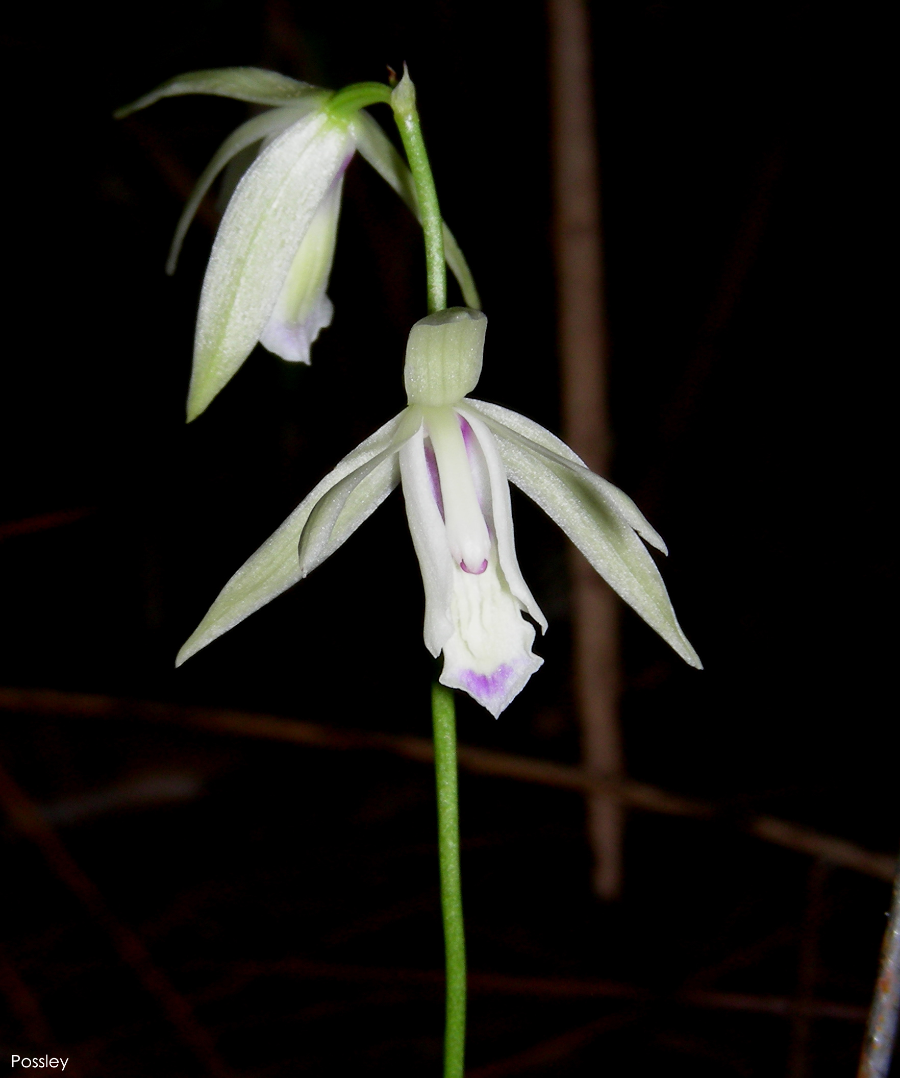 Carter's orchid (Basiphyllaea corallicola)