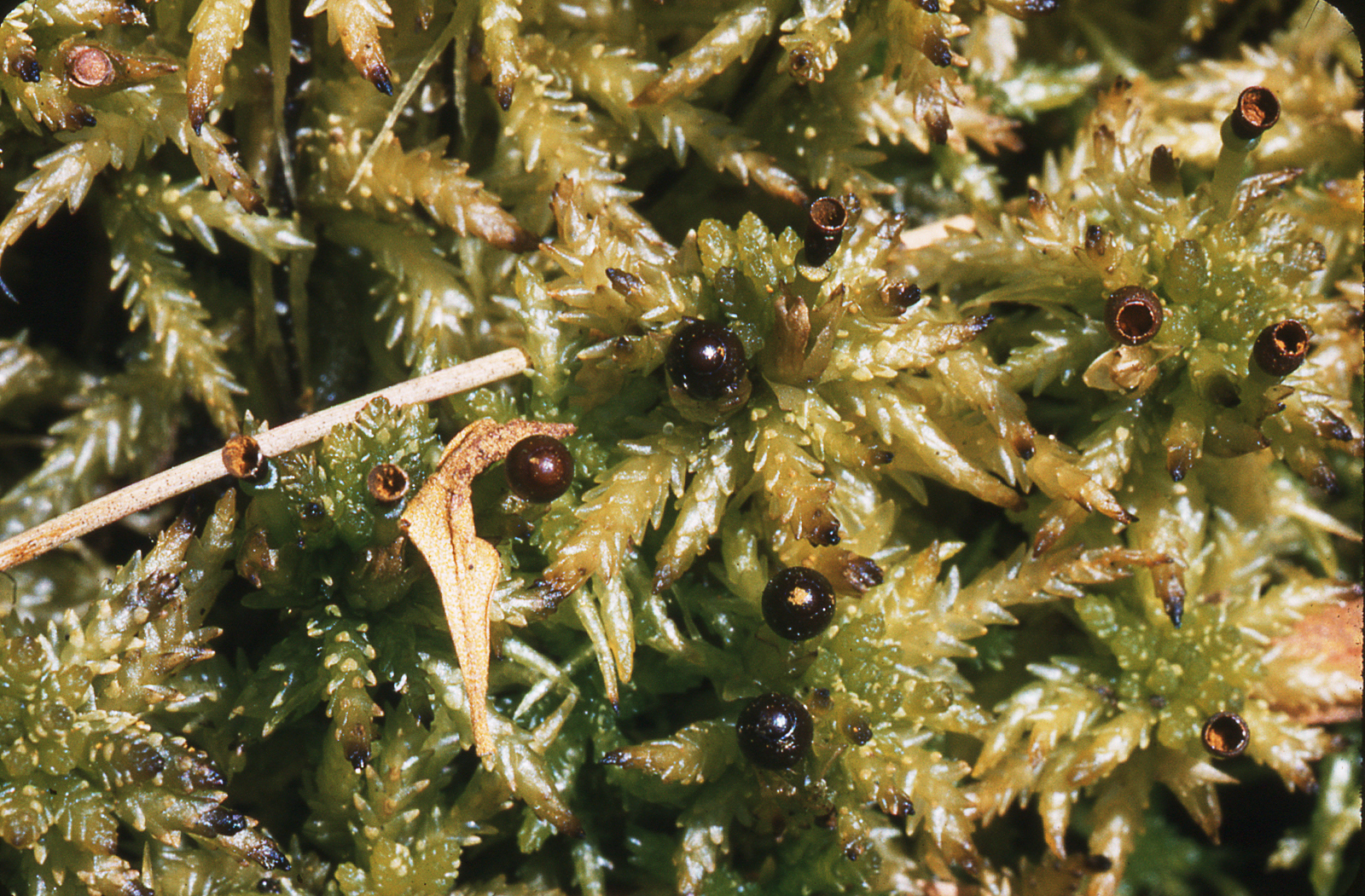 One of Eula's field photos of a Sphagnum moss. The most speciose genus in BRIT's bryophyte herbarium is Sphagnum, with 75 species represented by 509 specimens.