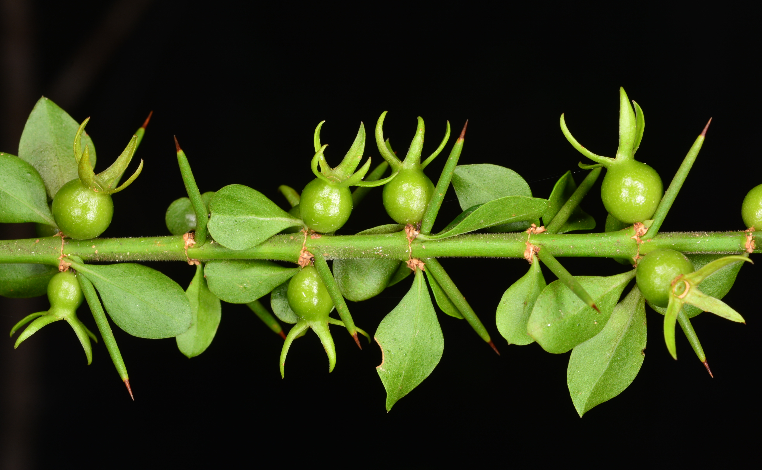 Fruits of tropical lilythorn (Catesbaea melanocarpa), an endangered shrub endemic to Puerto Rico and the island of St. Croix in the U.S. Virgin Islands.