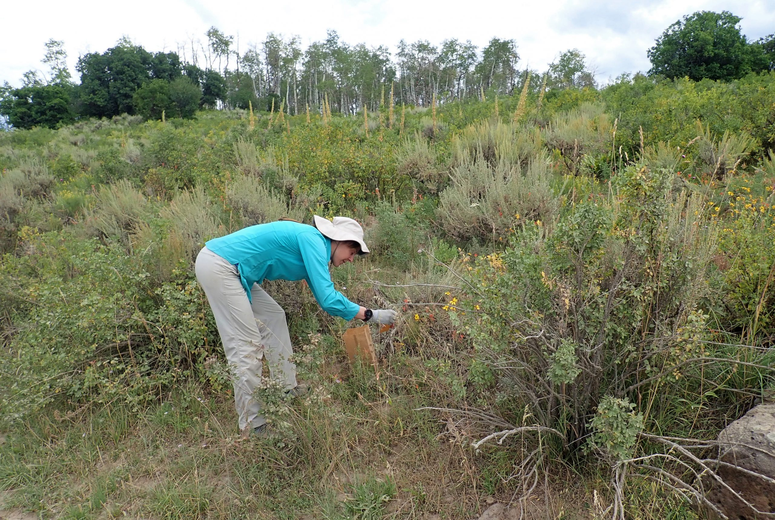 Chrissy Alba collecting seed during the second collection trip for Grand Mesa beardtongue seed.