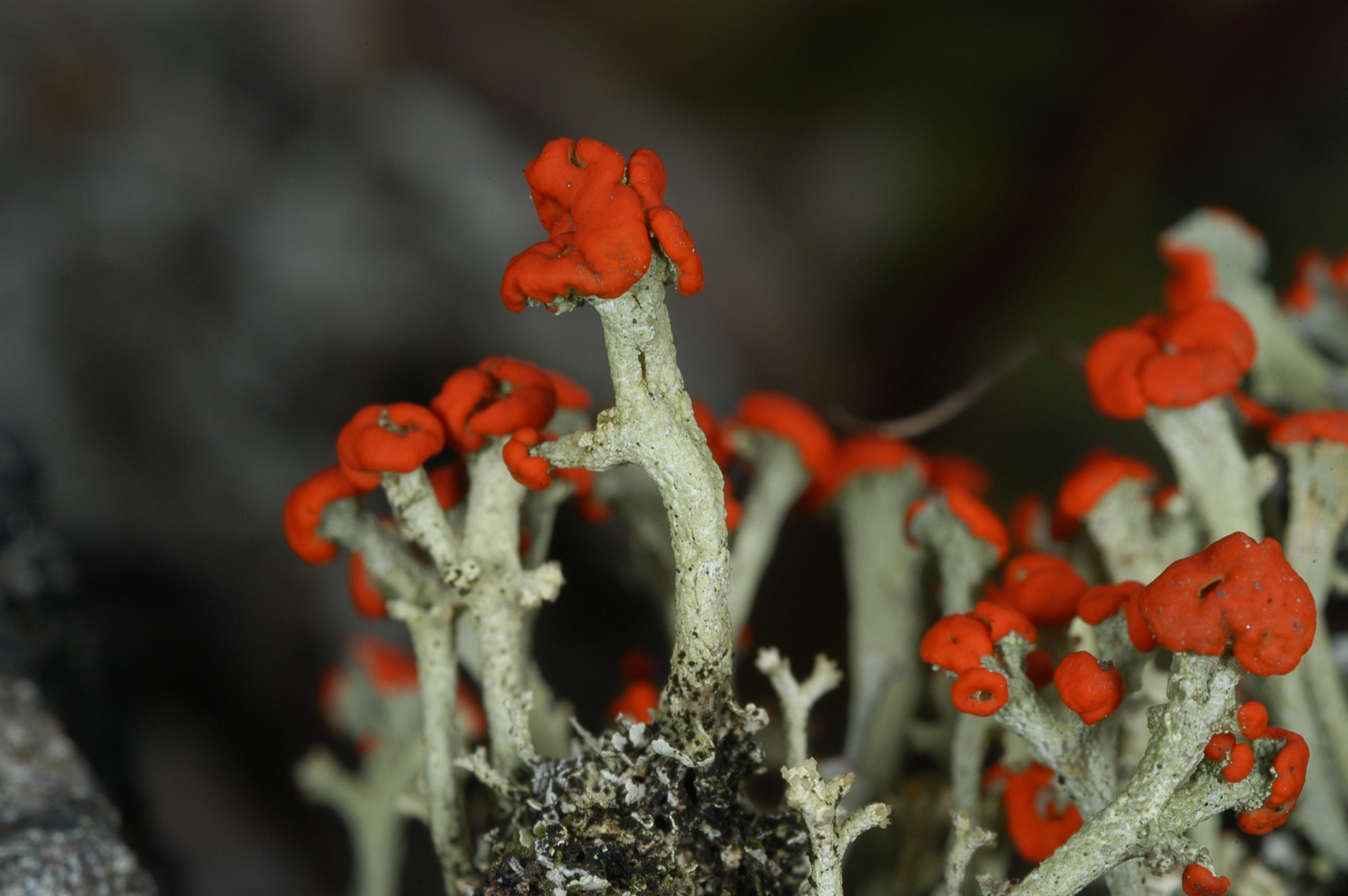 Cladonia cristatella, also known as British Soldiers, one of the iconic lichens of eastern North America.