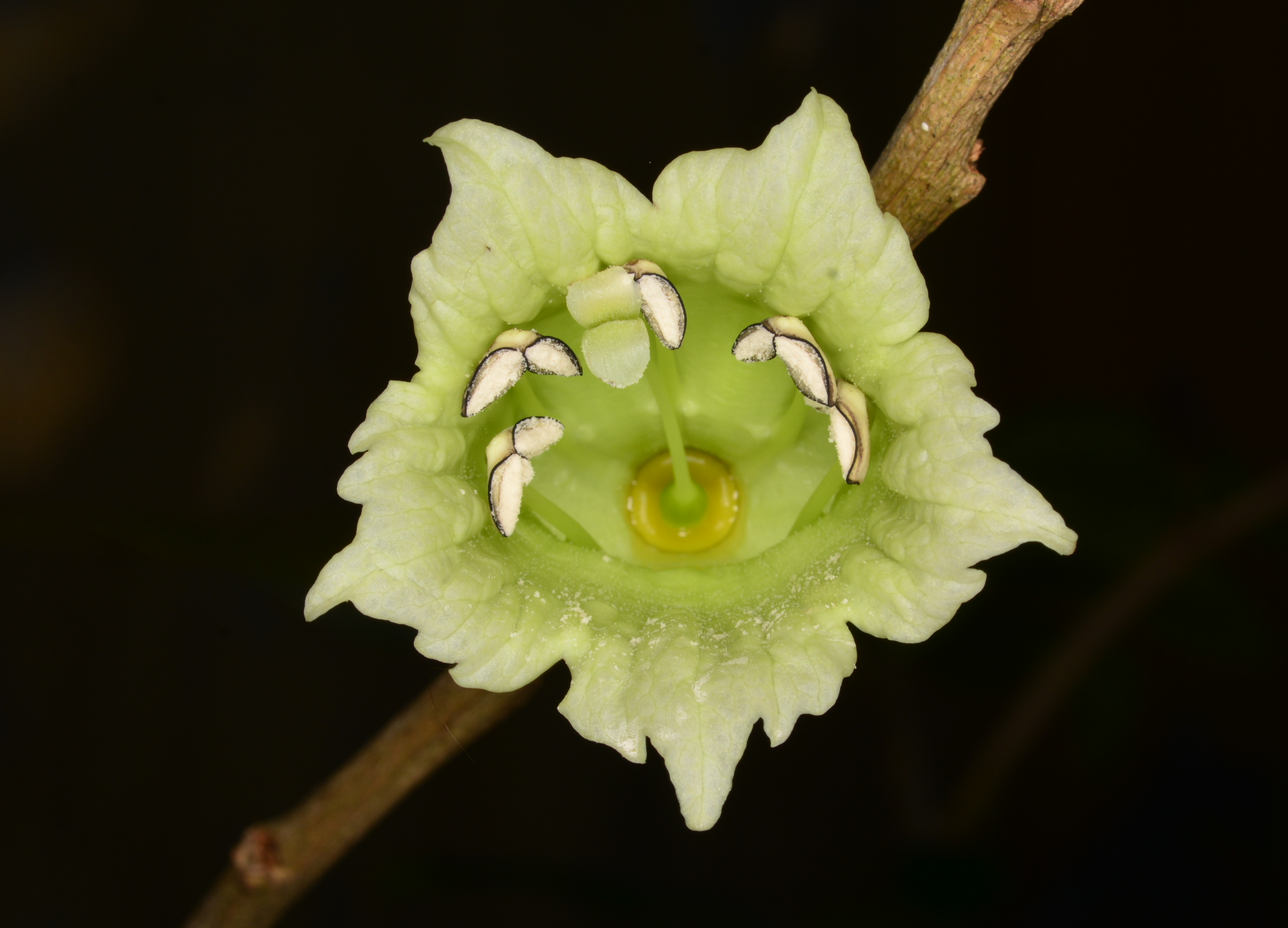 Flower of higuero de sierra (Crescentia portoricensis).