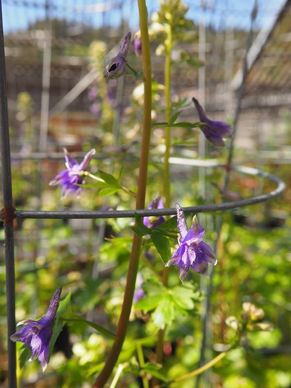 Delphinium bakeri in propagation for reintroduction efforts.