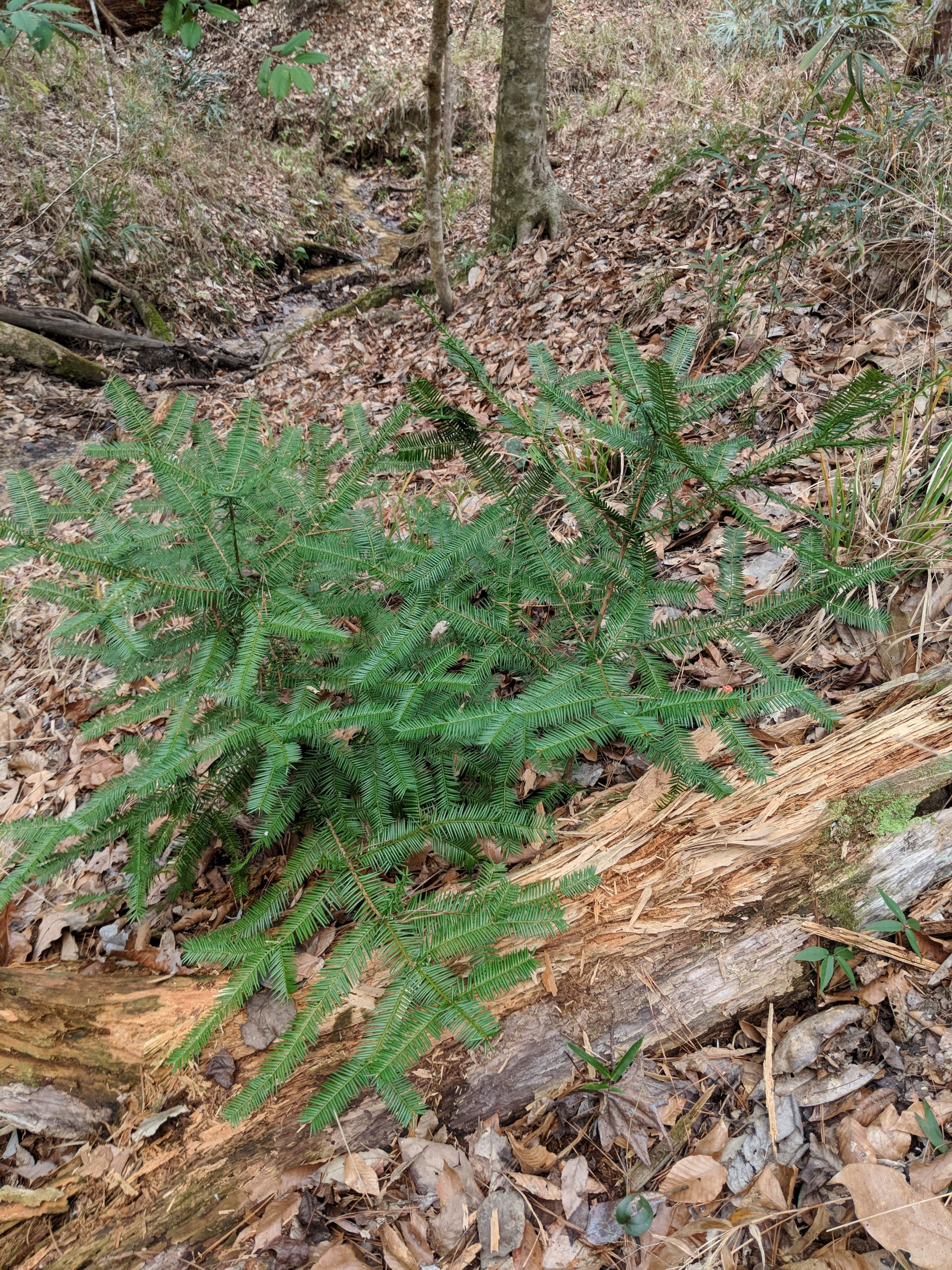 Impacted by a fungal infection, many of the Torreya in the wild are short and shrubby.