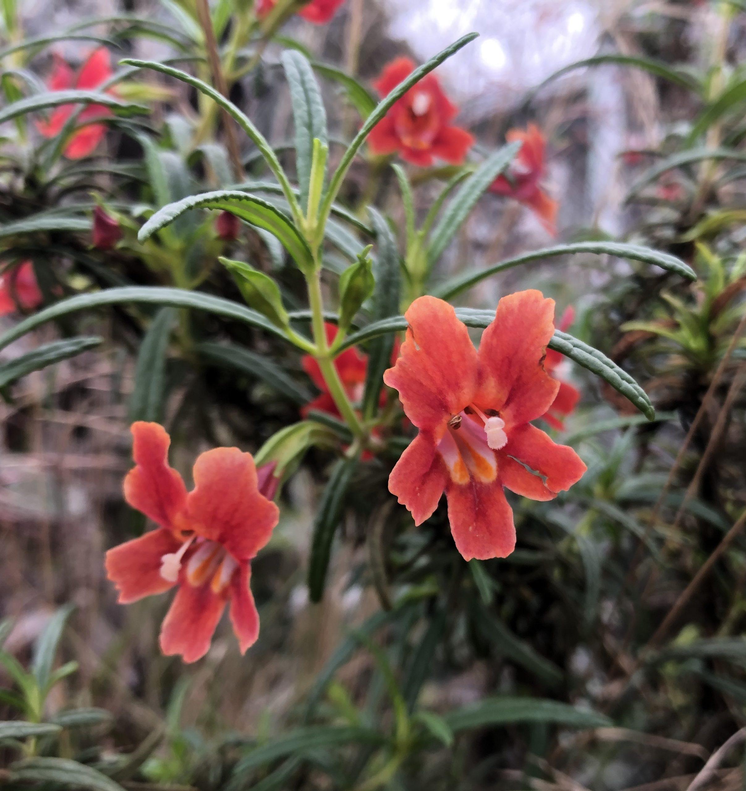 Mmonkeyflower (Diplacus aurantiacus)