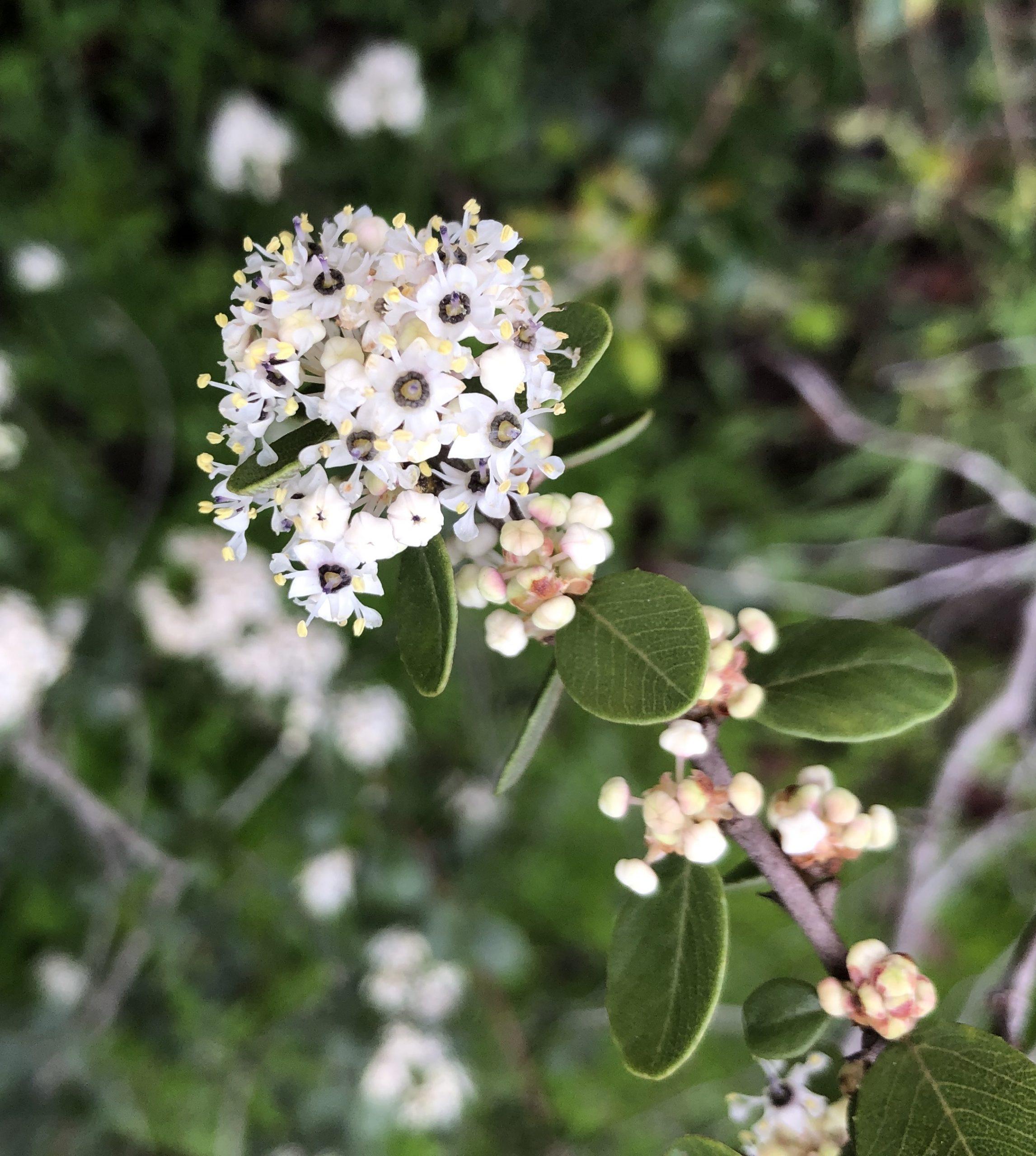 California lilacs (Ceanothus spp.)