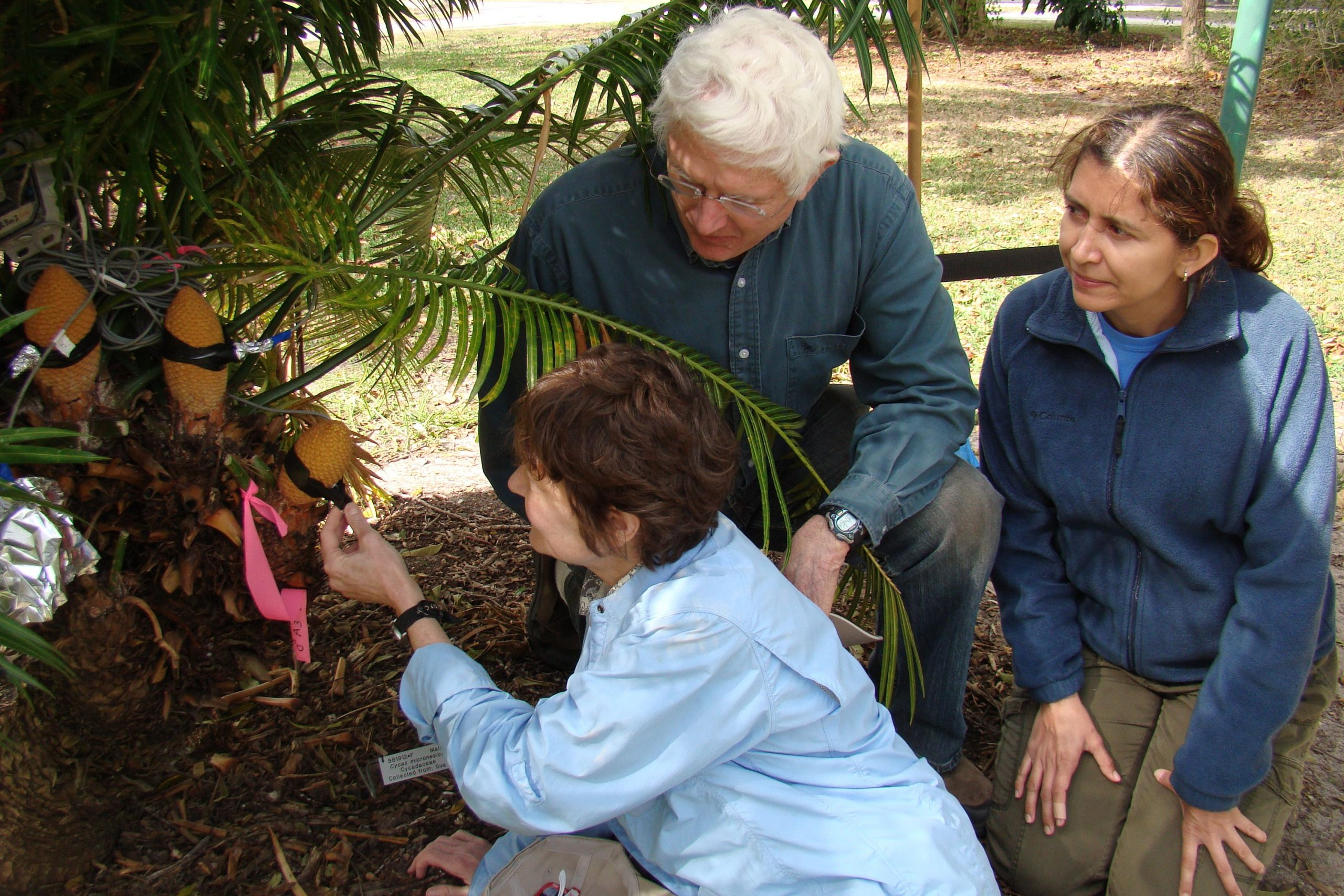 Irene Terry, Robert Roemer, and Claudia Calonje gather temperature data from male Cycas micronesica cones. Ex situ collections are key to both conservation and research.