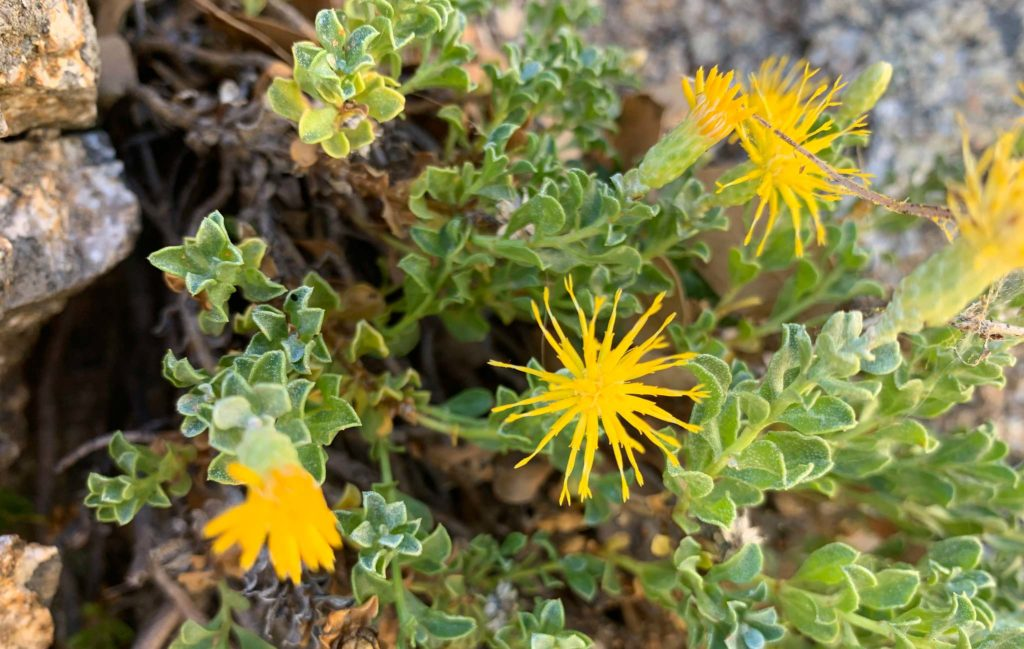 Laguna Mountains goldenbush (Ericameria cuneata var. macrocephala)