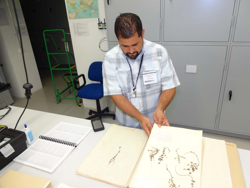 Examining material of Peperomia spp. from the Lesser Antilles at the herbarium of the Natural History Museum, UK.