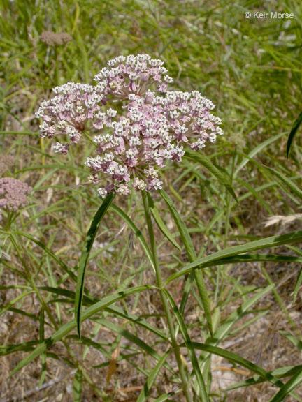 Narrow leaf milkweed (Asclepias fascicularis)