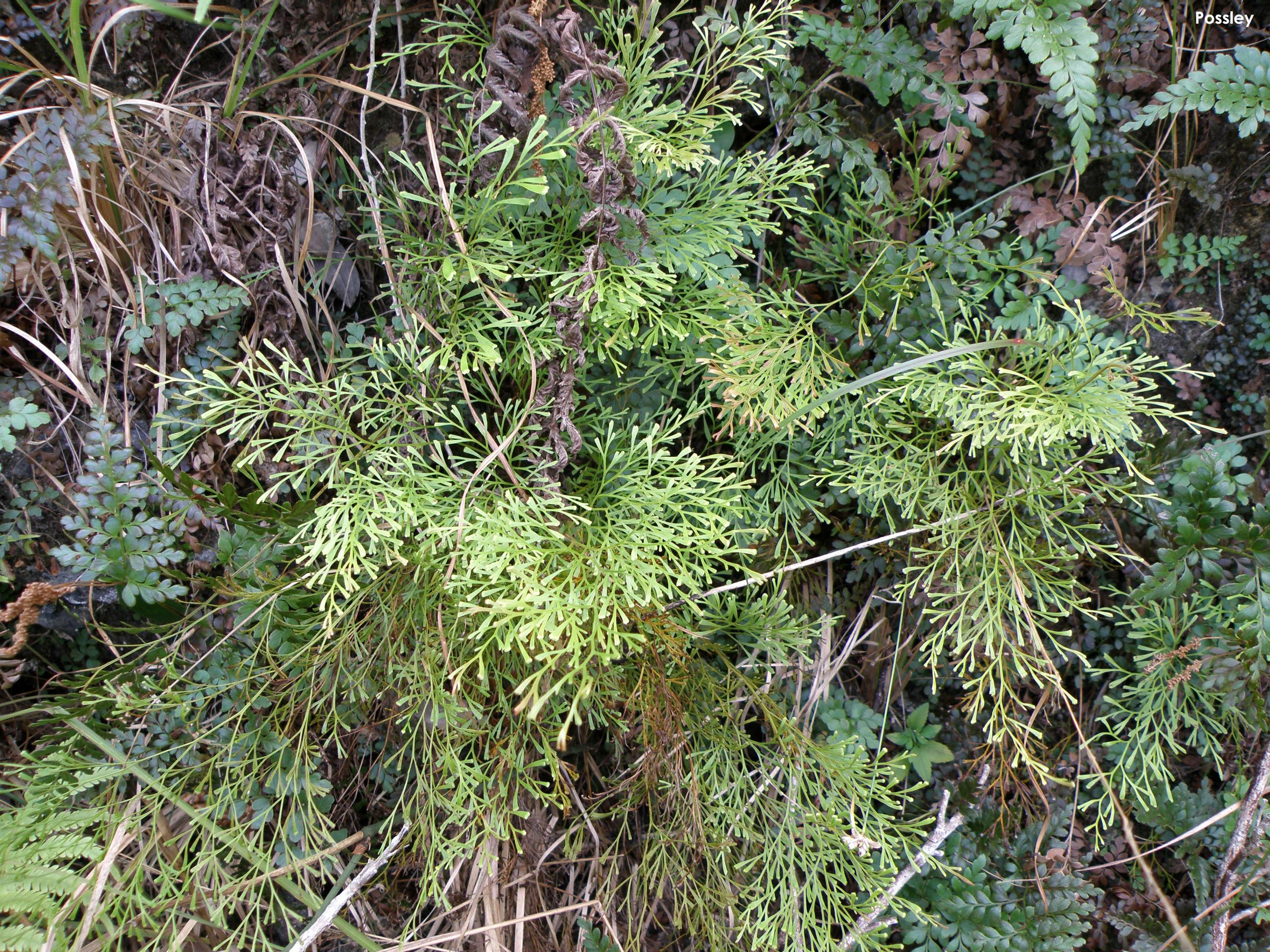 Wedgelet fern (Odontosoria clavata) is a rare plan of the pine rocklands in South Florida.