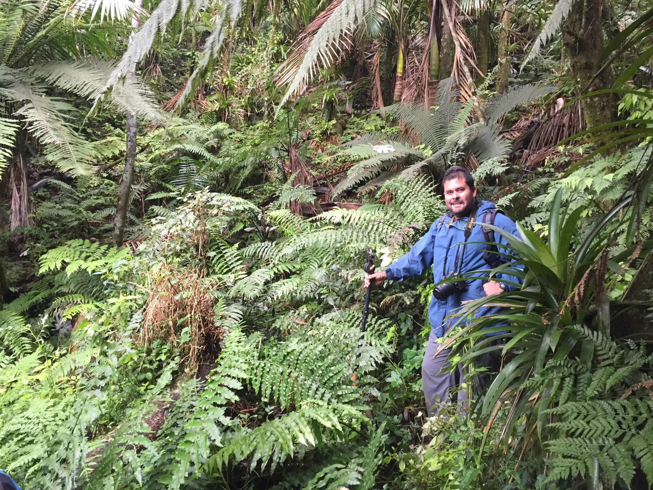 USFWS biologist Omar Monsegur-Rivera (this month's Conservation Champion), here in the newly discovered valley with dozens of Cyathea dryopteroides, was instrumental in the realization of this collaborative project.