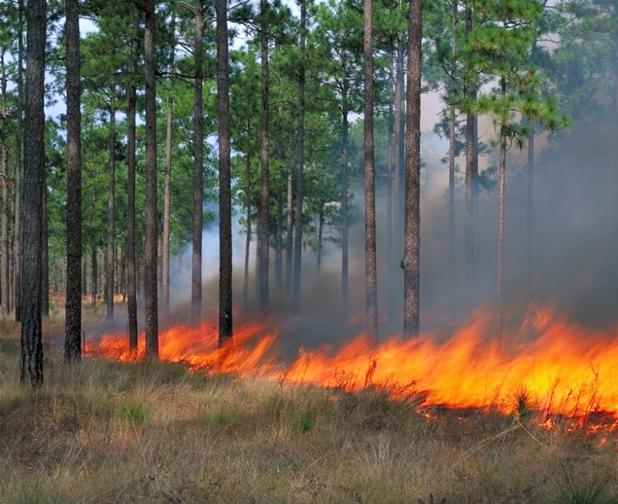 Prescribed fire burns the lonleaf sandhills on Fort Bragg, NC.