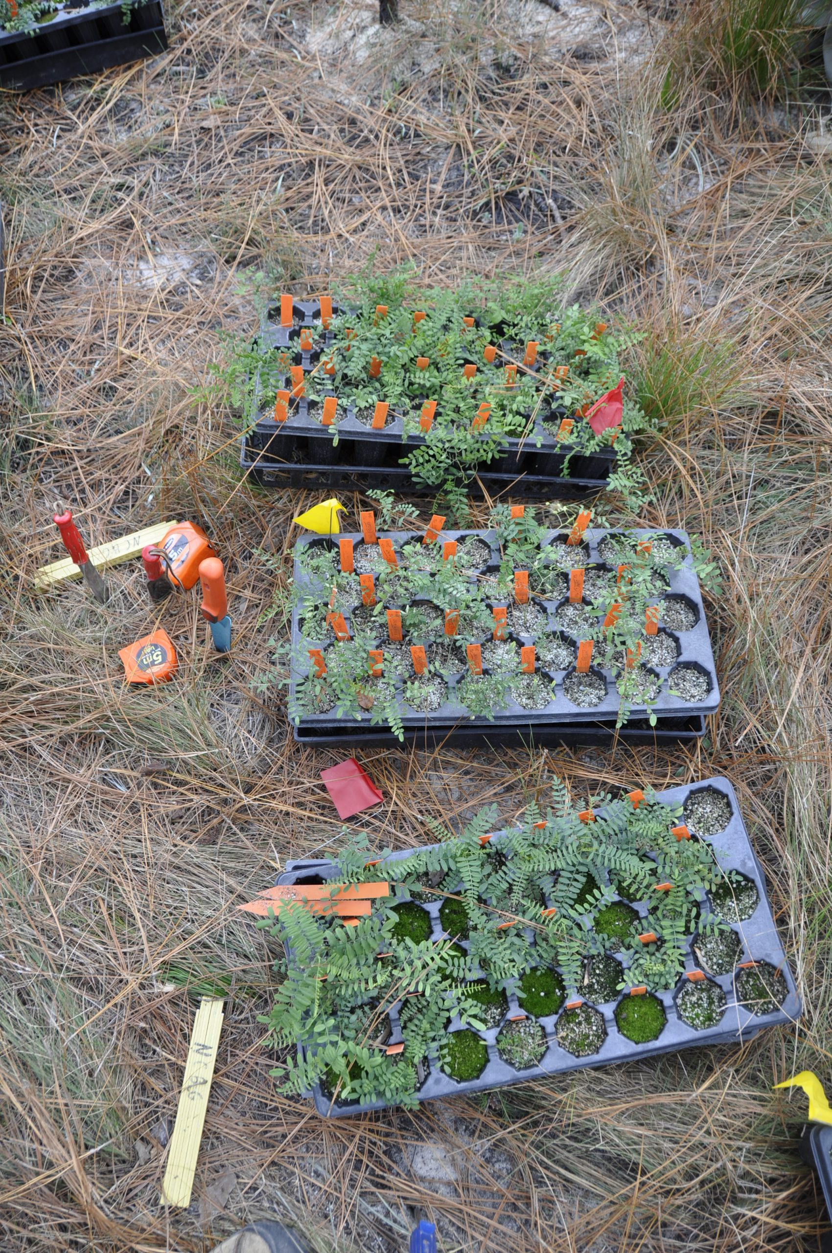 Ready to plant. Astragalus michauxii seedlings waiting to be measured and planted for reintroduction onto Fort Bragg.
