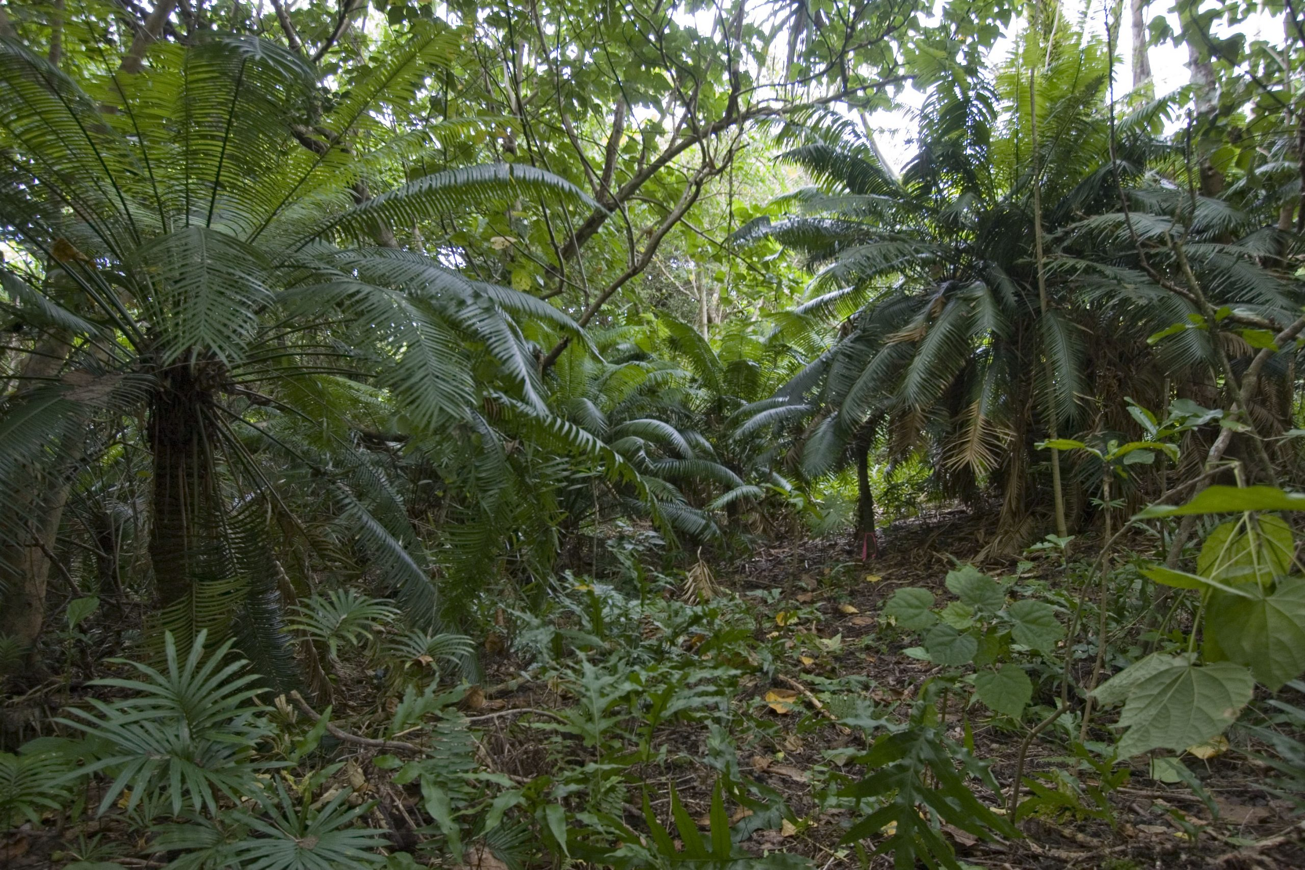 Though the population of tall Micronesian cycad in Rota pictured above was healthy in 2007, signs of CAS were already spotted on other populations on the island.