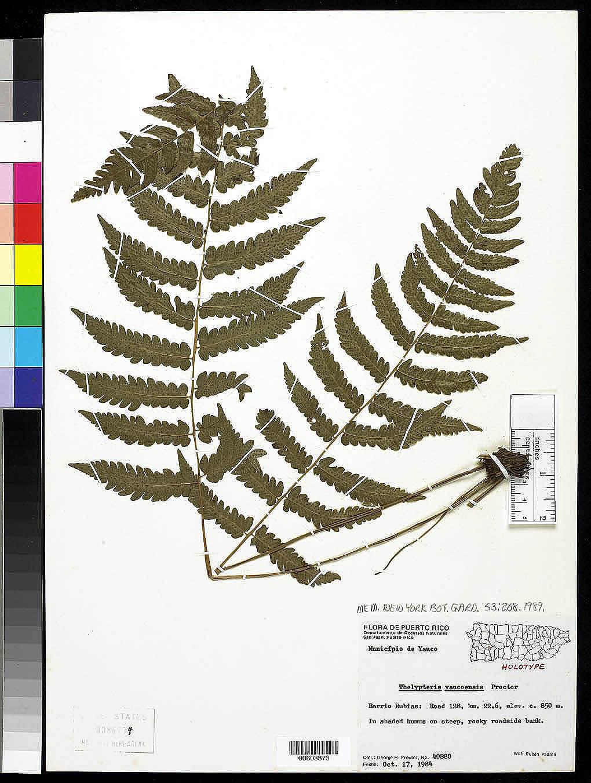 Thelypteris yaucoensis