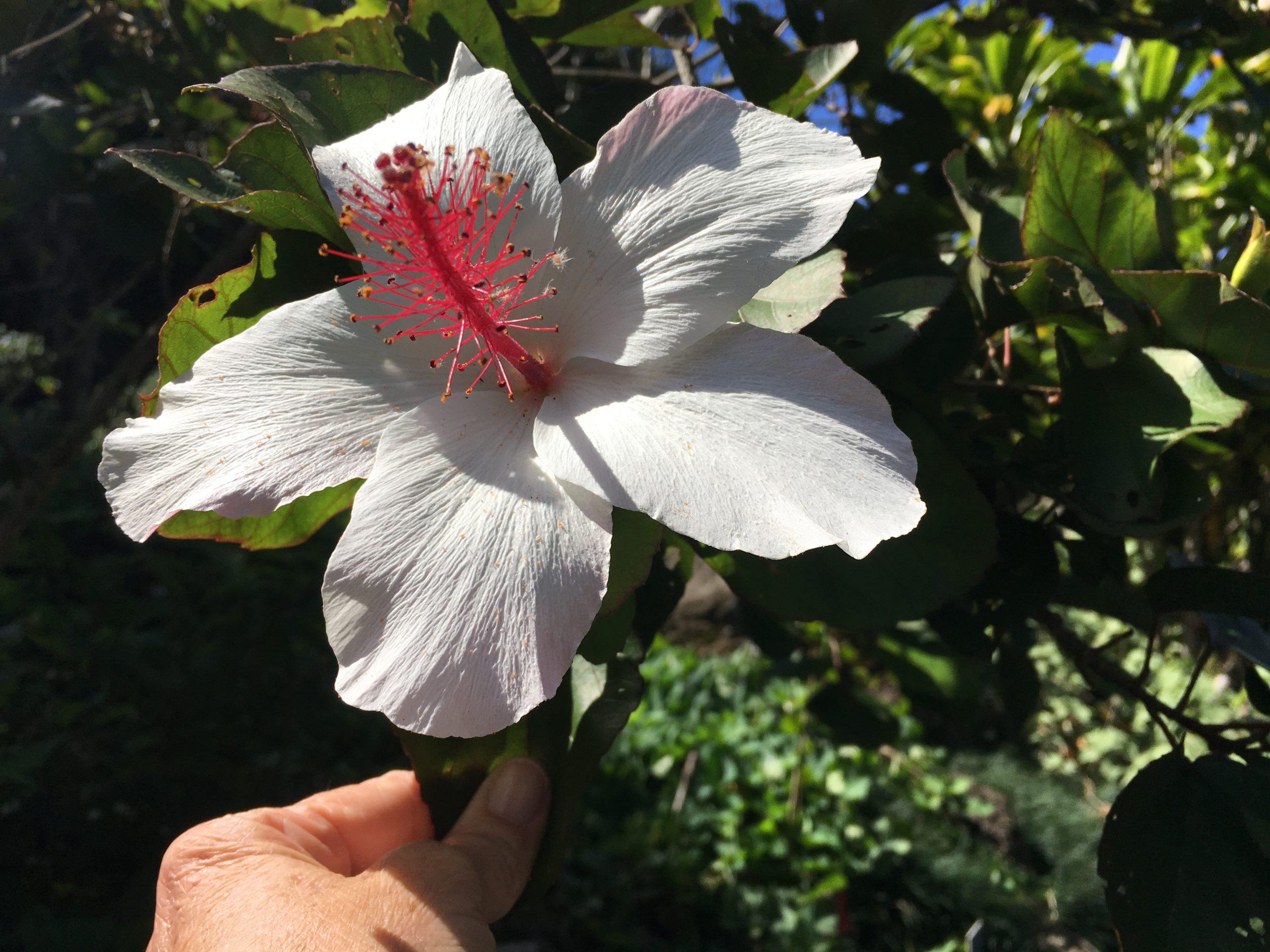 Hibiscus arnottianus, Hawaiian white hibiscus, Koki'o ke'oke'o.