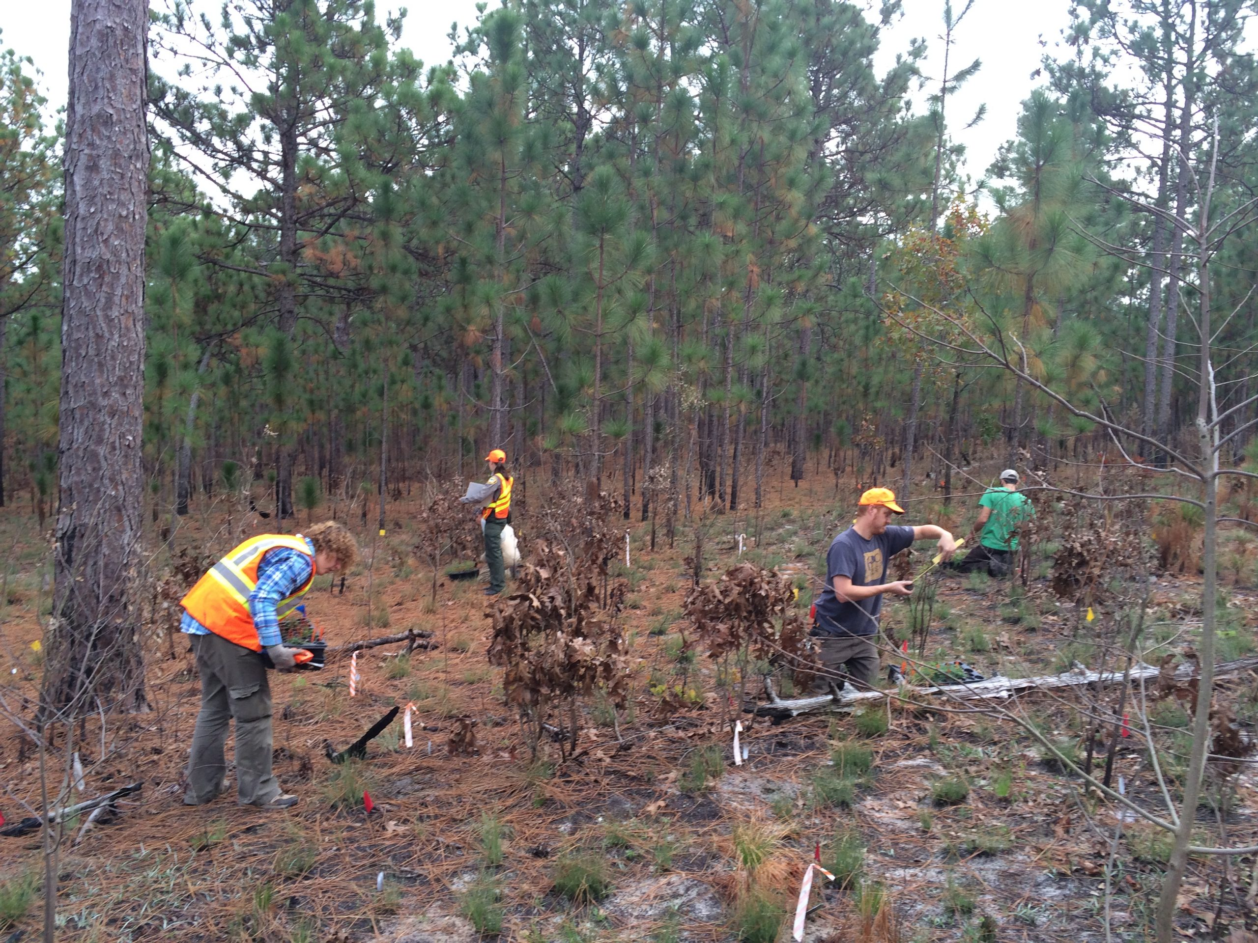 Volunteers and NCBG staff plant and take demographic measurements during the reintroduction of Astragalus michauxii.