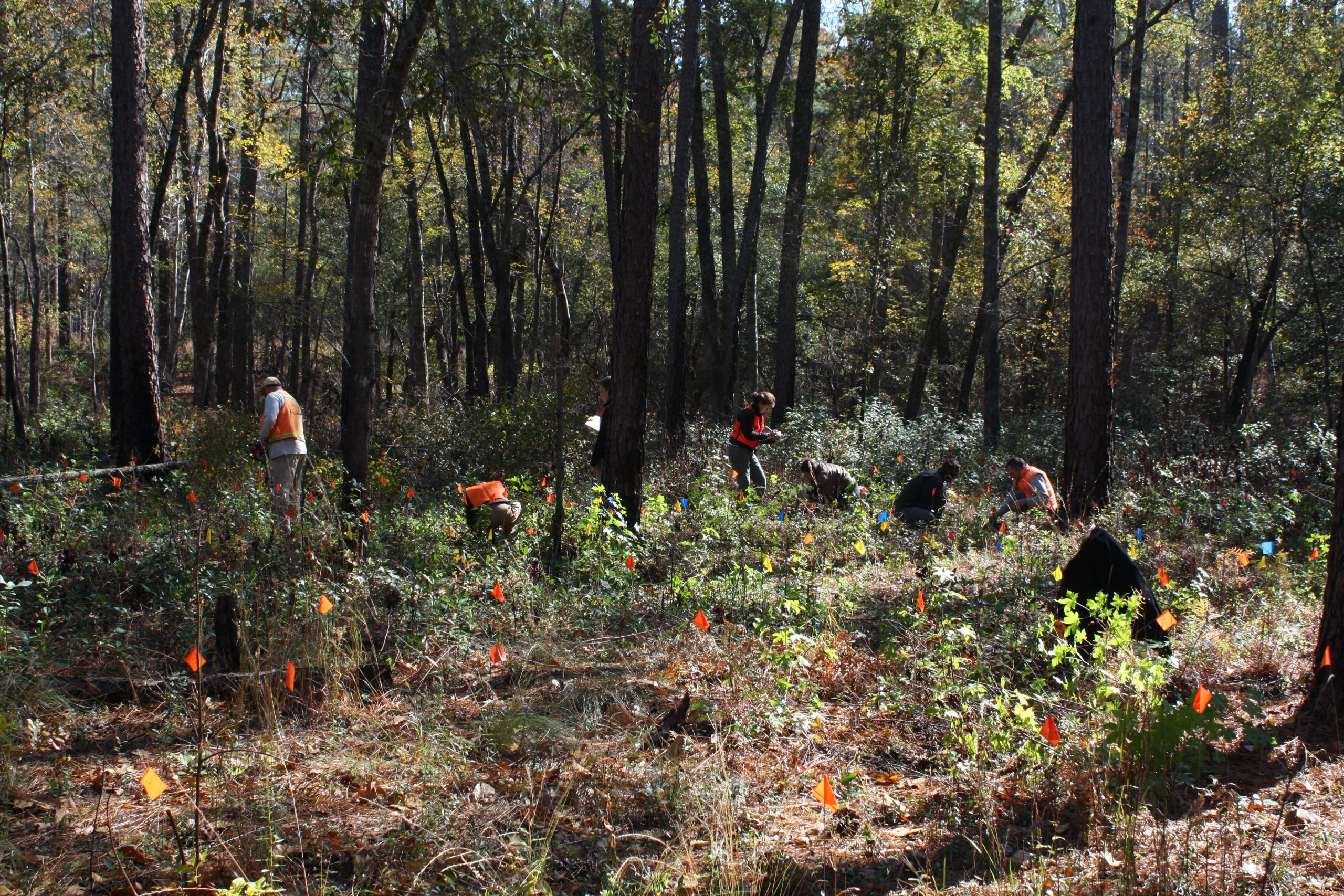Volunteers and project partners reintroduce Amorpha georgiana on Fort Bragg.