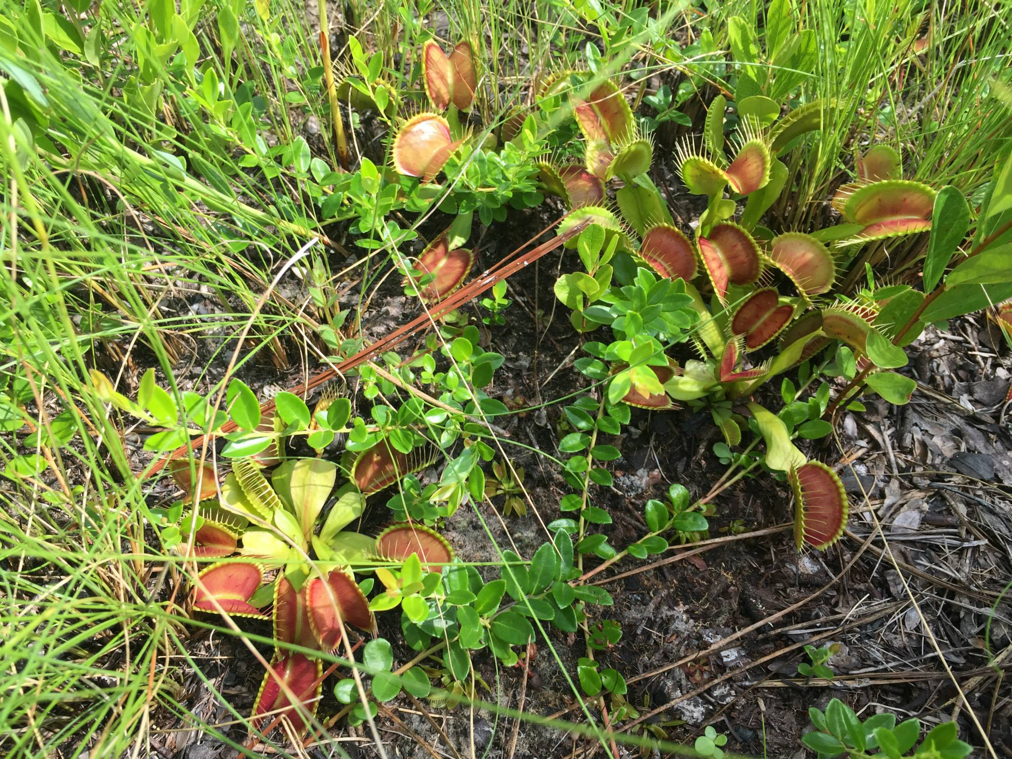 Venus flytraps (Dionaea muscipula) and other carnivorous plants.