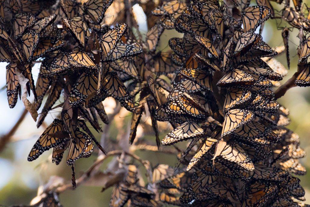 Western monarch butterflies in hibernation.